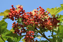 Ripen bunches of Viburnum berries on the branch Stock Photo
