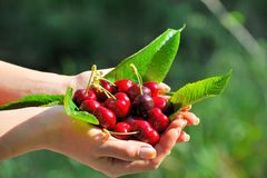 Ripen cherries in the hands of a girl. In the sunshine stock photos