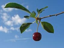 Ripen cherry Stock Image