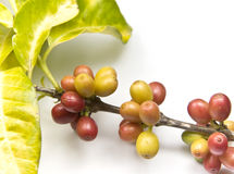 Ripen coffee beans. On a coffee plant Stock Photo