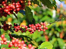 Ripen coffee beans on branch and leaves Royalty Free Stock Images