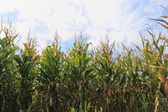 Ripe Corn Field Royalty Free Stock Images