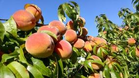 Ripen fall peaches Stock Photography