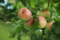 Ripen green apple fruiter Stock Photo