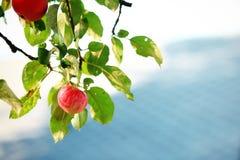 Ripen green apple fruiter Stock Image
