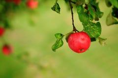 Ripen green apple fruiter Royalty Free Stock Photo
