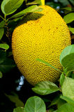 Ripen Jackfruit Stock Photography