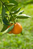 Ripen Juicy Orange on branch Royalty Free Stock Photos