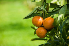 Ripen Juicy Orange on branch Stock Photos