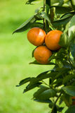 Ripen Juicy Orange on branch Stock Images