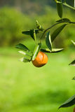 Ripen Juicy Orange on branch Royalty Free Stock Image