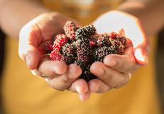 Ripen mulberry in hand Royalty Free Stock Photo