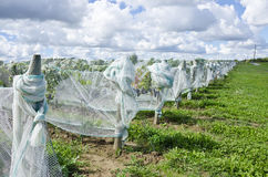 Ripen Pinot Noir Red Wine Grapes Under Nets #1 Royalty Free Stock Image