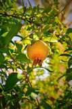 Ripen pomegranate on a tree. Pomegranate ripen on a tree and leaves Royalty Free Stock Photography