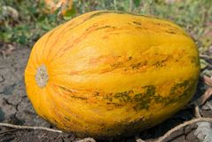 Ripen pumpkin Stock Images