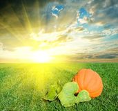 Ripen pumpkin. By a morning Royalty Free Stock Images