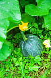 Ripen pumpkin Stock Photo