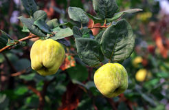 Ripen quince. Yellow ripen quince on the branch Stock Image