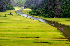 Ripen rice strips on both sides of a stream inside Tam Coc Natural Reserve, Ninh Binh pro., Vietnam. Stock Photography