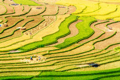 Ripen rice  terraces being gathered Royalty Free Stock Images