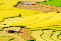 Ripen rice  terraces being gathered Royalty Free Stock Photography