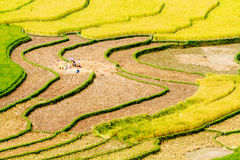 Ripen rice  terraces being gathered Stock Images