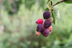 Ripen service berries. On blurred background Stock Photo
