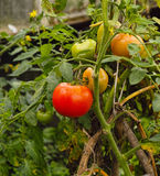 The ripen and unripen tomatoes on stem Stock Photography