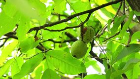 Ripen Walnuts on the Tree Branch. Wealthy Walnut Fruits Hang on Tree Branch stock footage