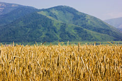 The ripen wheat field Stock Image