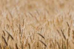 Ripen wheat field Stock Photos