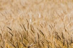 Ripen wheat field. Dry ripen wheat field. Wheat ears close-up Stock Images