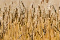 Ripen wheat field. Dry ripen wheat field. Wheat ears close-up Stock Photography