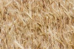 Ripen wheat field. Dry ripen wheat field. Harvest in Ukraine Stock Photos