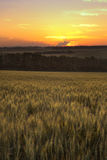 Ripen wheat field Royalty Free Stock Photography