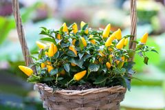 Yellow peppers plant flower basket. Beautiful colorful decorative green leaf vegetables selective focus photography. Ripen yellow peppers plant. Beautiful Royalty Free Stock Photography