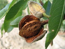 The ripened almond nut Royalty Free Stock Photo