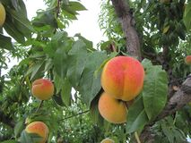 Ripened peaches in the peach garden. Ripened appetizing peaches in the peach garden Stock Photography