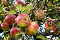 Ripened apples on the tree Royalty Free Stock Images