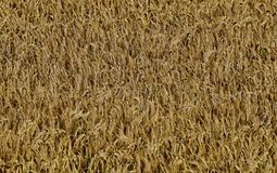 Ripened barley. The structure of the ripened barley in the field Royalty Free Stock Photo
