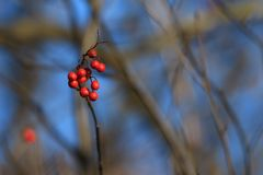 Ripened berries on a branch. Ripened rowan berries on a branch in the park Royalty Free Stock Photography