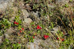 Ripened berries of the Carpathian lingonberry. Vaccinium vitis-idaea Stock Photography