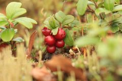 Ripened berries of cranberries. Ripened berries of bilberry on a bush Stock Photography