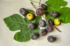 Ripened berries dark purple figs with large leaves and a dry twig Royalty Free Stock Photography