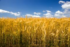 Ripened cereals Stock Images