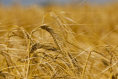 Ripened cereals .  close up Stock Photography