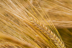 Ripened cereals Royalty Free Stock Photos