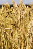 Ripened cereals Royalty Free Stock Image