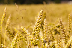 Ripened cereals Stock Photography