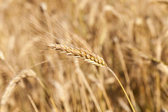 The ripened cereals Royalty Free Stock Images